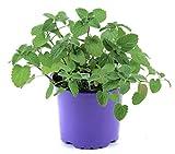 Katzenminze Pflanze im 12cm Topf, Frische Katzen Minze! Frisch aus Kontrolliertem...