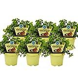 Exotenherz - Set mit 6 Futterpflanzen für Heimtiere - Callisia repens - Vitalfutter...