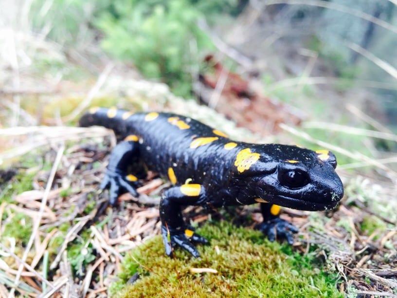 schwarzer Salamander