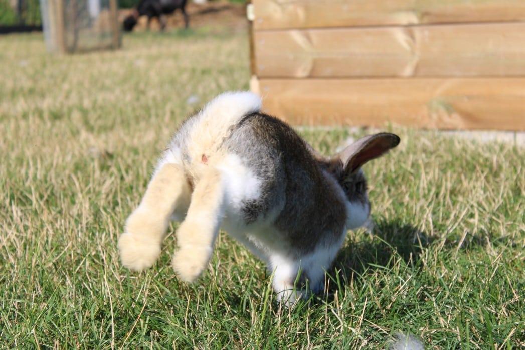 Springendes Kaninchen