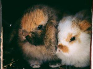 Zwei Kaninchen im Stall
