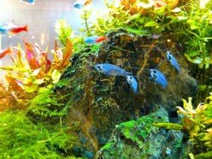 Vor allem im heimischen Aquarium ist der Zwergkugelfisch recht eigen.