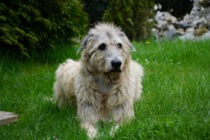 Der Irische Wolfshund, ein treuer Gefährte und ein tolles Familienmitglied
